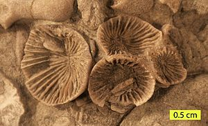 Rugosa - Streptelasma divaricans (Nicholson, 1875) from the Liberty Formation (Upper Ordovician) of southern Ohio.