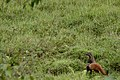 Stripe-necked Mongoose Herpestes vitticollis.jpg