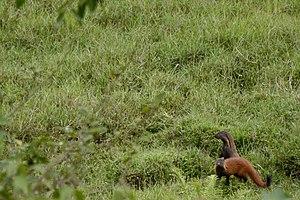 Stripe-necked mongoose - Image: Stripe necked Mongoose Herpestes vitticollis