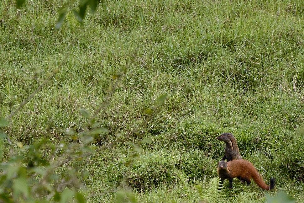 Stripe-necked Mongoose Herpestes vitticollis