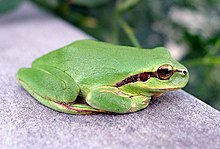 Stripeless Tree Frog - Hyla meridionalis - Flickr - gailhampshire.jpg
