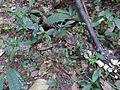 Strobilanthes ciliatus Nees (15593909623).jpg