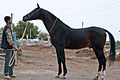 Studfarm in Turkmenistan - Flickr - Kerri-Jo (4).jpg
