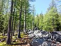 Subalpine Larch forest - Flickr - brewbooks.jpg
