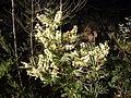 Sunshine wattle in flower (3517854266).jpg