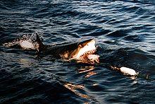 .::Tiburón Blanco::. 220px-Surfacing_great_white