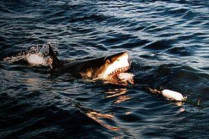 Tubar�o alimentando-se, � superf�cie.