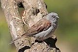 Swainson's sparrow (Passer swainsonii).jpg
