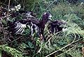 Swamp Harrier chick 1988.jpg