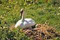 Swan problems.JPG