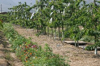 Pontifical Catholic University of Valparaíso - Sweet cherry orchard at the PUCV Experiment Station in Quillota. This picture shows a view of the orchard floor including a floral biodiversity strip and the access door to a rhizotron.