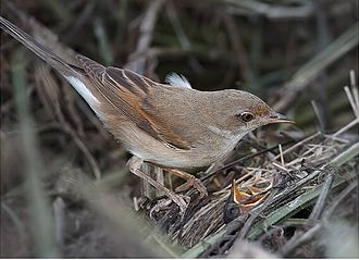 Common whitethroat - Female with chicks