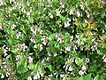 Symphytum grandiflorum, creeping comfrey, with Cotinus coggygria.JPG
