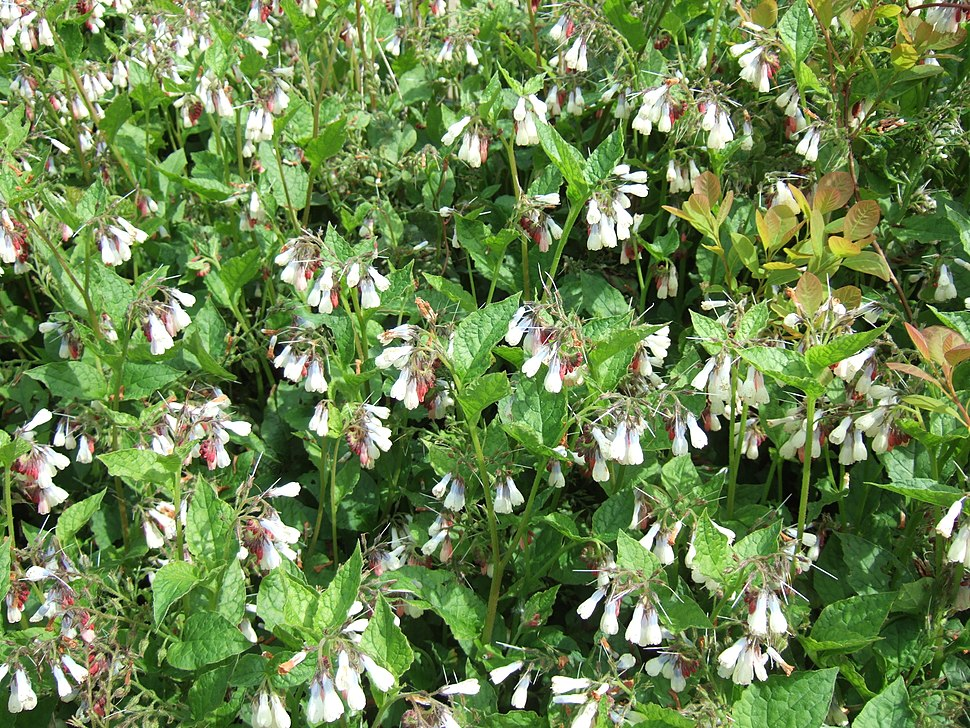 Symphytum grandiflorum, creeping comfrey, with Cotinus coggygria
