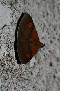 <i>Sympis rufibasis</i> species of insect