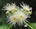 Syzygium hemisphericum 14.jpg