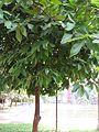Syzygium samarangense (Rose apple) tree in RDA, Bogra 02.jpg
