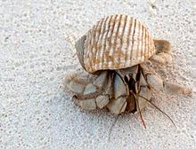 Un granchio della famiglia dei Coenobitidae