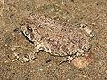TOAD, RED-SPOTTED (Bufo punctatus) (7-9-12) patagonia lake, scc, az -01 (7538102854).jpg