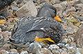 Tachyeres pteneres (Fuegian Steamer Duck - Magellan-Dampfschiffente) - Weltvogelpark Walsrode 2012-09.jpg