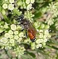 Tachytes panzeri. Crabronidae. Female. (Also known as Tachysphex europaea) - Flickr - gailhampshire.jpg