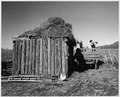 Taos County, New Mexico. Pitching hay to roof of outbuilding, Arroyo Seco. - NARA - 521825.tif