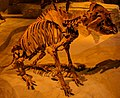Tapirus wabbi fossil.jpg