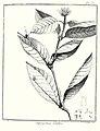 Tapogomea glabra Aublet 1775 pl 63.jpg