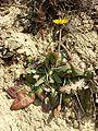 Taraxacum serotinum sl77.jpg