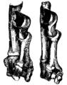Tarsal Bones Mivart.png