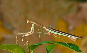 Chinese mantis - Adult male