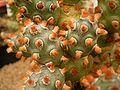 Tephrocactus molinensis4.jpg