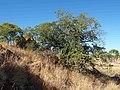 Terminalia hadleyana subsp. carpentariae habit.jpg
