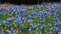 Texas blue bonnets (13832238603).jpg