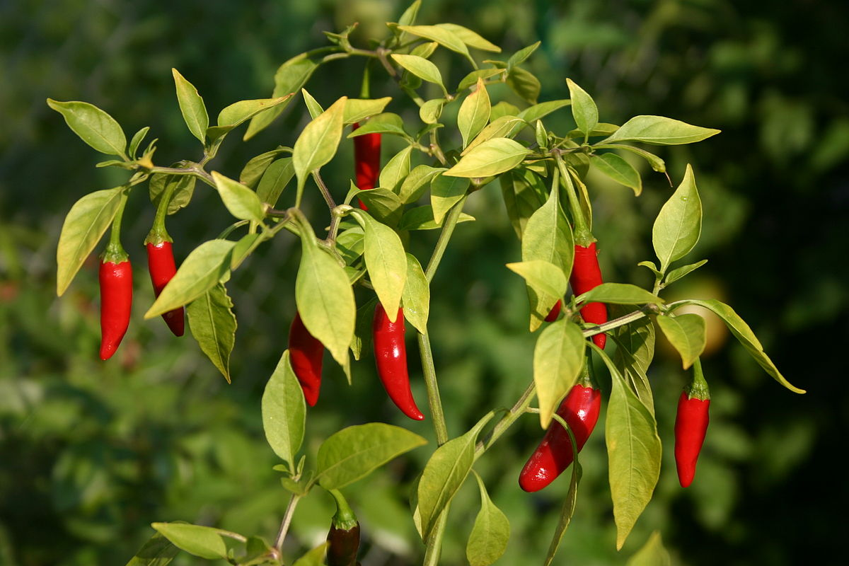 Thai peppers.jpg