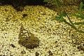 Thalassophryne amazonica - Peru-Krötenfisch (4).jpg