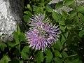 Thalictrum aquilegiifolium - Akelei-Wiesenraute.jpg