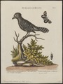 Thamnophilus doliatus - 1700-1880 - Print - Iconographia Zoologica - Special Collections University of Amsterdam - UBA01 IZ16400383.tif