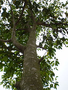 The Aquilaria tree see under to above.jpg