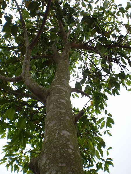 File:The Aquilaria tree see under to above.jpg