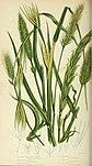 The British grasses and sedges (1858) (14577555977).jpg