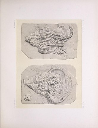 Charles Wachsmuth - Plate LIII from The North American Crinoidea camerata, Springer, Frank; Wachsmuth, Charles.