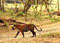 The Royal Bengal Tiger at Nagarhole National Park.jpg