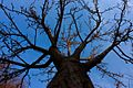The sacred tree-2012-3-7 - panoramio.jpg