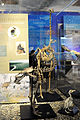 The skeletons of Eastern moa and other kinds of moas in Otago museum.jpg