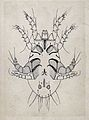 The ventral aspect of a tick. Pen and ink drawing by A.J.E. Wellcome V0022611.jpg
