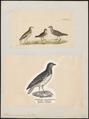 Thinocorus rumicivorus - 1700-1880 - Print - Iconographia Zoologica - Special Collections University of Amsterdam - UBA01 IZ17200313.tif