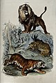 Three cats; A lion standing on a rock, a leopard curled up u Wellcome V0020810.jpg