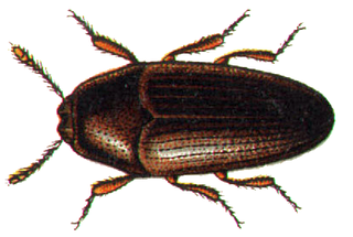 Throscidae family of insects