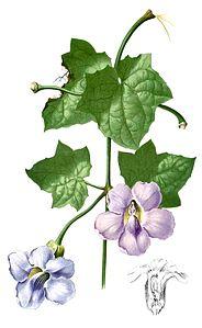 Thunbergia grandiflora Blanco1.229-cropped.jpg